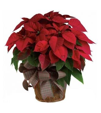 PLANTE POINSETTIA ROUGE